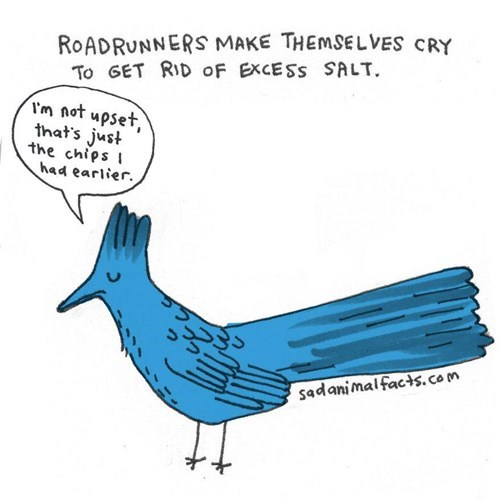 Bird - ROADRUNNERS MAKE THEMSELVES CRY To GET RID oF EXCESS SALT Vm not upset, that's just the chips had earlier sadanimalfacts.com