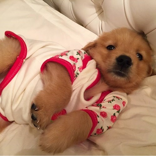 cute dogs image What? I Can't Go to Sleep Without My Pajamas