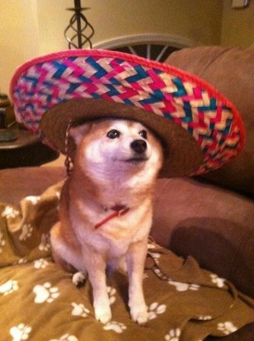 funny cats dogs Shibrero VS Mexicat