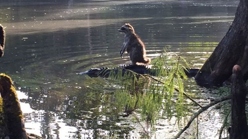 funny alligator raccoons Startled Raccoon Rides an Alligator to Safety