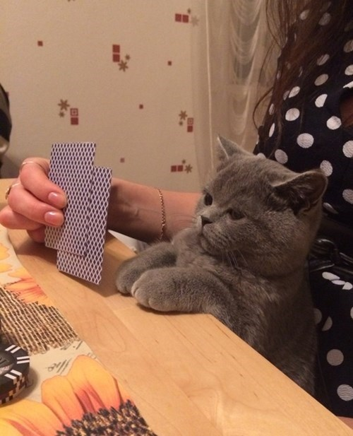 cute cats image Those Dogs Don't Stand a Chance Against This Poker Face