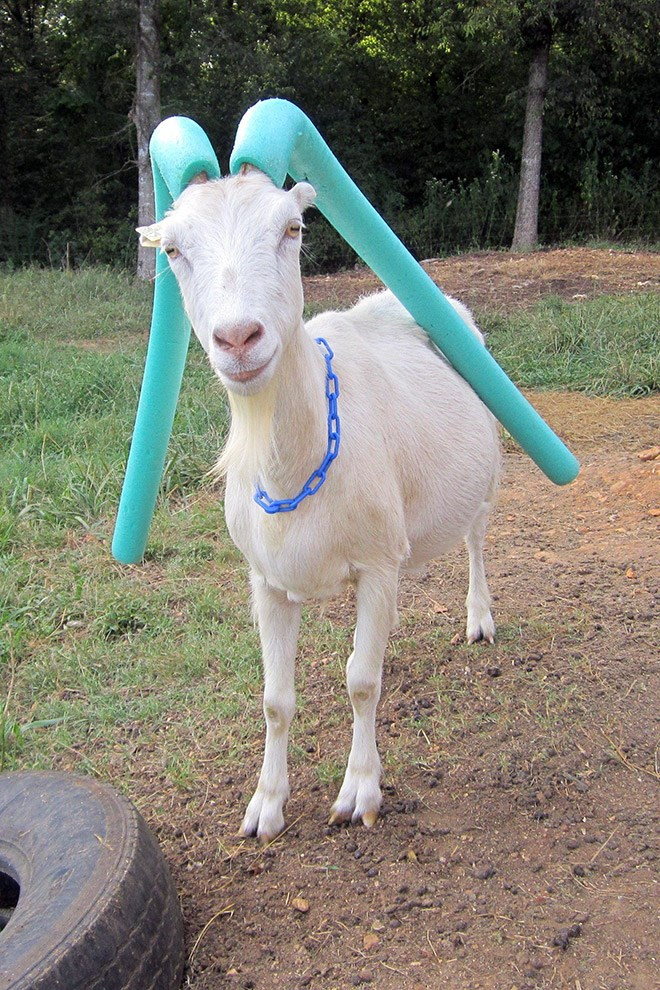 cute goat with pool noodles