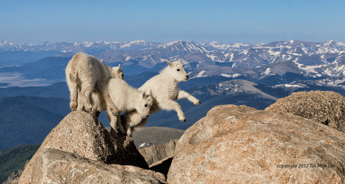 funny goats image They Spend a Lot of Time Traversing Picturesque Mountain Ranges