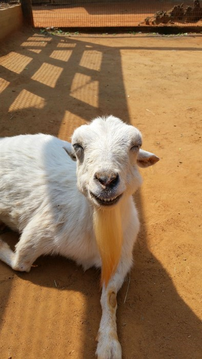 funny goats image And Lets Not Forget About Those Beards