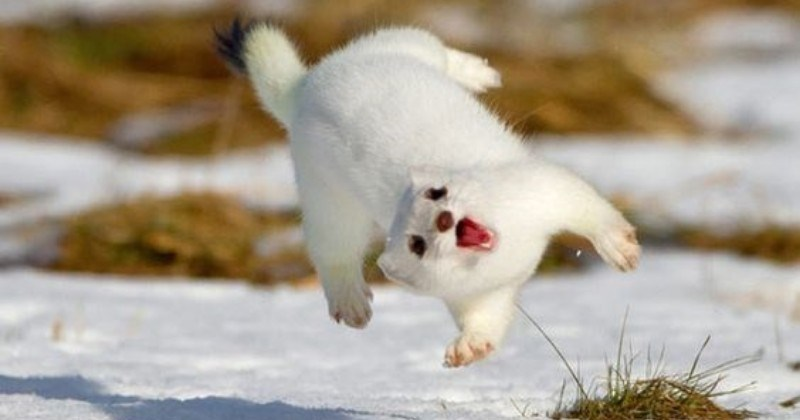 cute animals, animal photos, stoats photos,