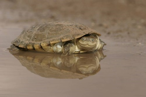 cute turtle image The African Helmeted Turtle