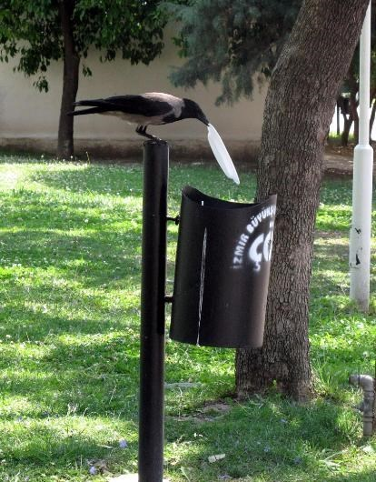 crows eat food throw plate away