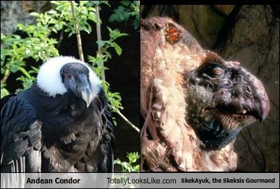 Andean Condor Totally Looks Like SkekAyuk, the Skeksis Gourmand
