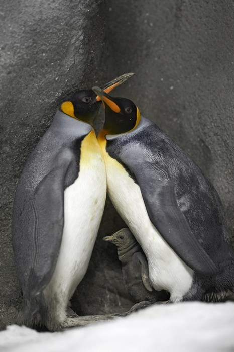 cute penguins image These Loving Penguin Foster Fathers