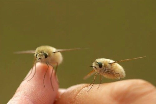 cute bugs image Bombyliidae - The Bee Fly