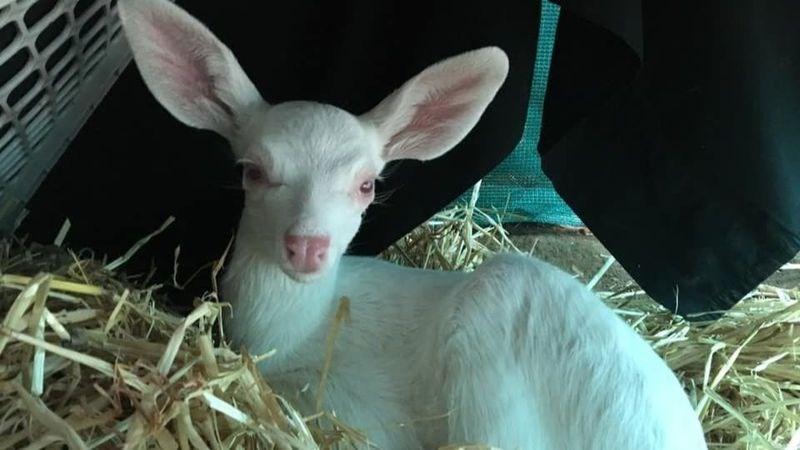 albino rare fawn rescue - 8520709