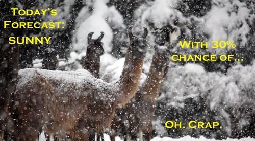 Snow Llamas