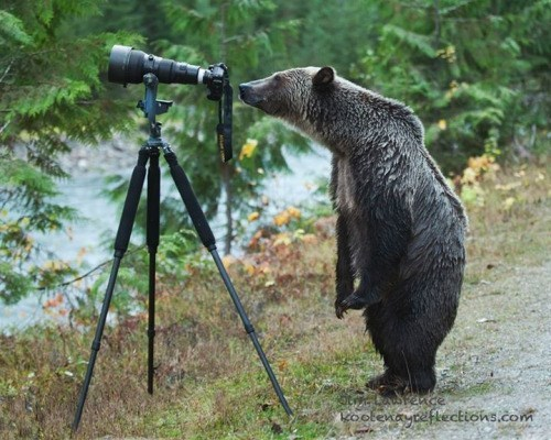 bear curious nature photographer camera