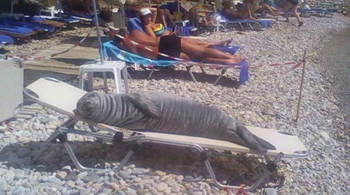 seal sleeps on beach chair