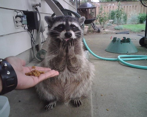 funny raccoon image Oh, You Shouldn't Have!