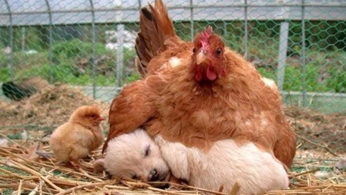funny dogs birds This Baby Chicken Looks...Bigger Than Usual