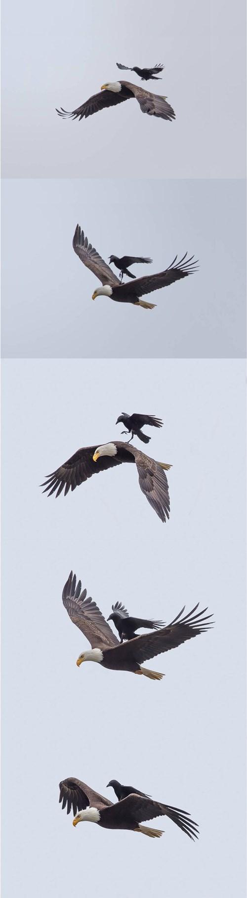 cuervo montado en águila