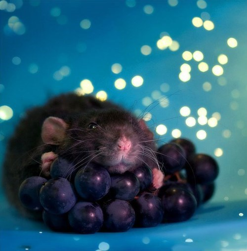 rat glamour shot with grapes
