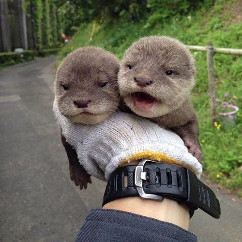 cute otters image Otterly Adorable