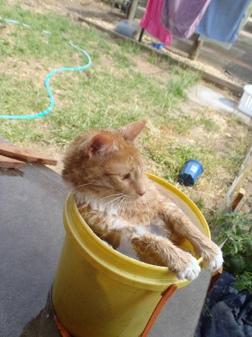 cute cats image Temperature Outside: Cat Willing to Sit in Water Bucket