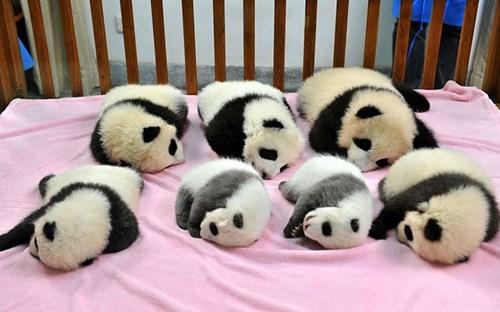 cute panda image Nap Time at the Panda Daycare