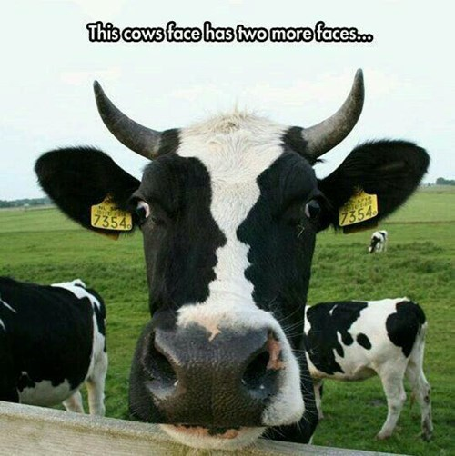 Mammal - This cows face has two more faces.. 7354 7354
