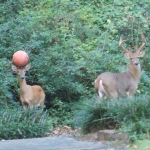 deer gets basketball stuck in antlers