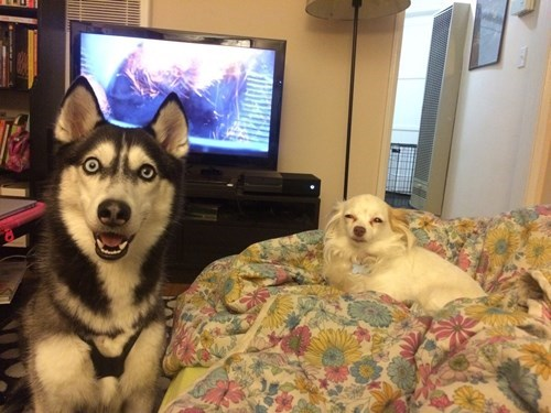 funny dogs image You Are Not Welcome Here Husky