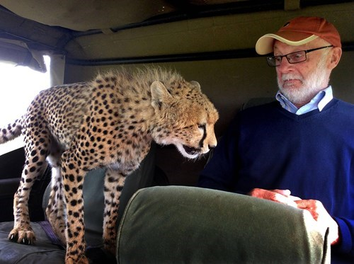 cheetah jumps into safari jeep in kenya