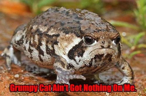 Grumpy Cat funny frog - 8533841920