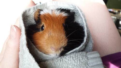 cute guinea pig image This is More Like a Guinea-Pig-in-a-Blanket