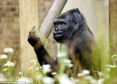 Bristol gorilla flips off photographer.