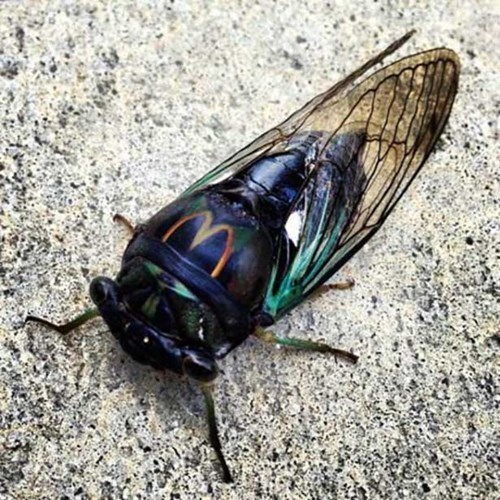 americana-even-insects-are-lovin-it