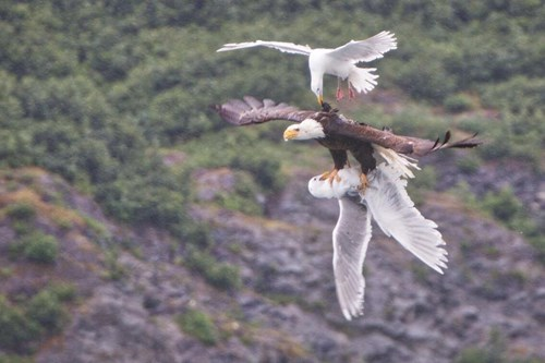 funny eagles image We May Never Know the Outcome of This Epic Sky Battle of Eagle vs. Seagull