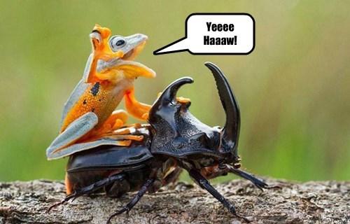 beetle cowboy funny frog