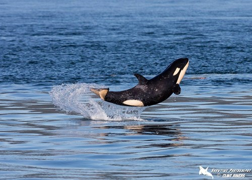 funny orca image Sometimes You Just Have to Jump for Joy Because You're a Killer Whale