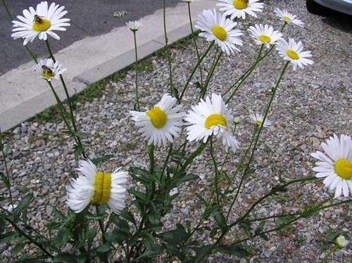 Deformed Daisies probably weren't caused by the Fukushima Nuclear Meltdown.