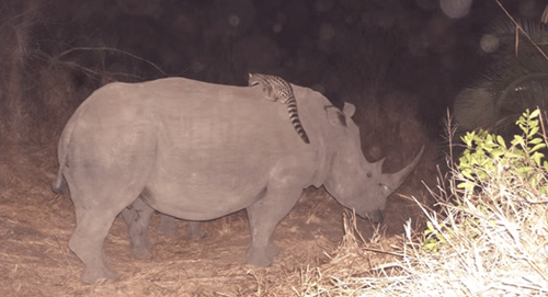 South Africa catches cats riding rhinosaurus