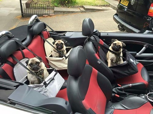 funny dogs image Ready to Road Trip