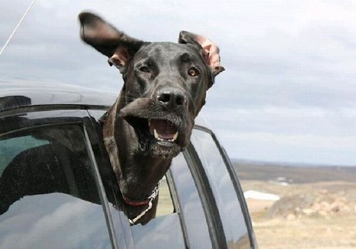 funny dogs image Are We There Yet?