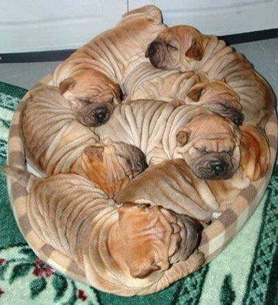 cute dogs image The Most Precious of Cinnamon Rolls