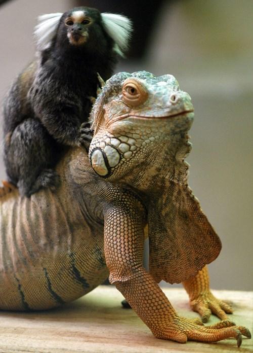 funny iguana image Onward, Dragon Steed!