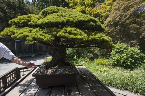Ancient bonsai tree survived the atomic bomb in Japan.