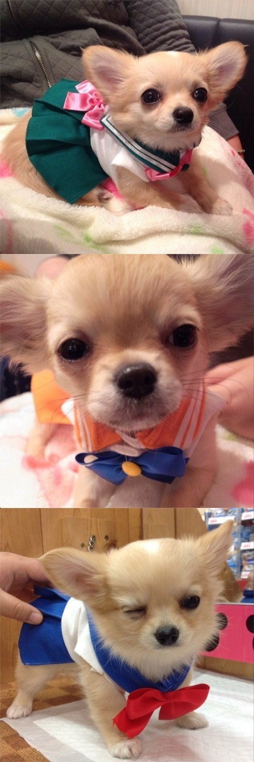 anime memes sailor moon puppy cosplay