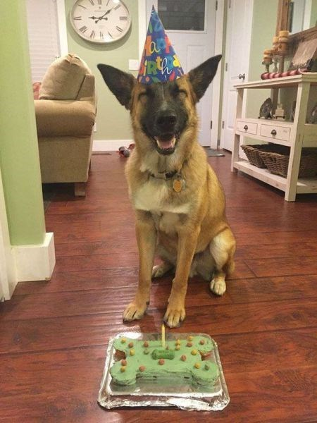 funny dogs image He Probably Thinks He Gets That Cake All to Himself