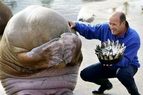 cute walrus image This Walrus Is in for a Surprise!