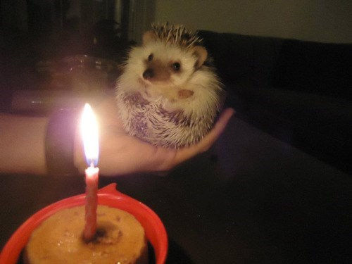funny hedgehog image You Have to Make the Perfect Wish Before Blowing Out the Candle