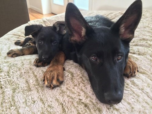 cute dogs image Of Course, It's Possible for Your Mini-Me to Get Too Attached