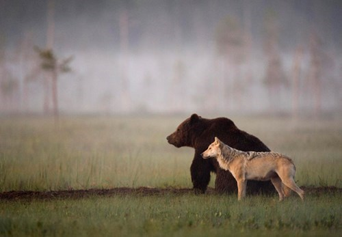 cute bears wolves A Bear and a Wolf Formed an Unlikely Friendship Worthy of a Disney Movie