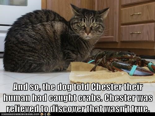animals lobster captions Cats funny - 8550872576
